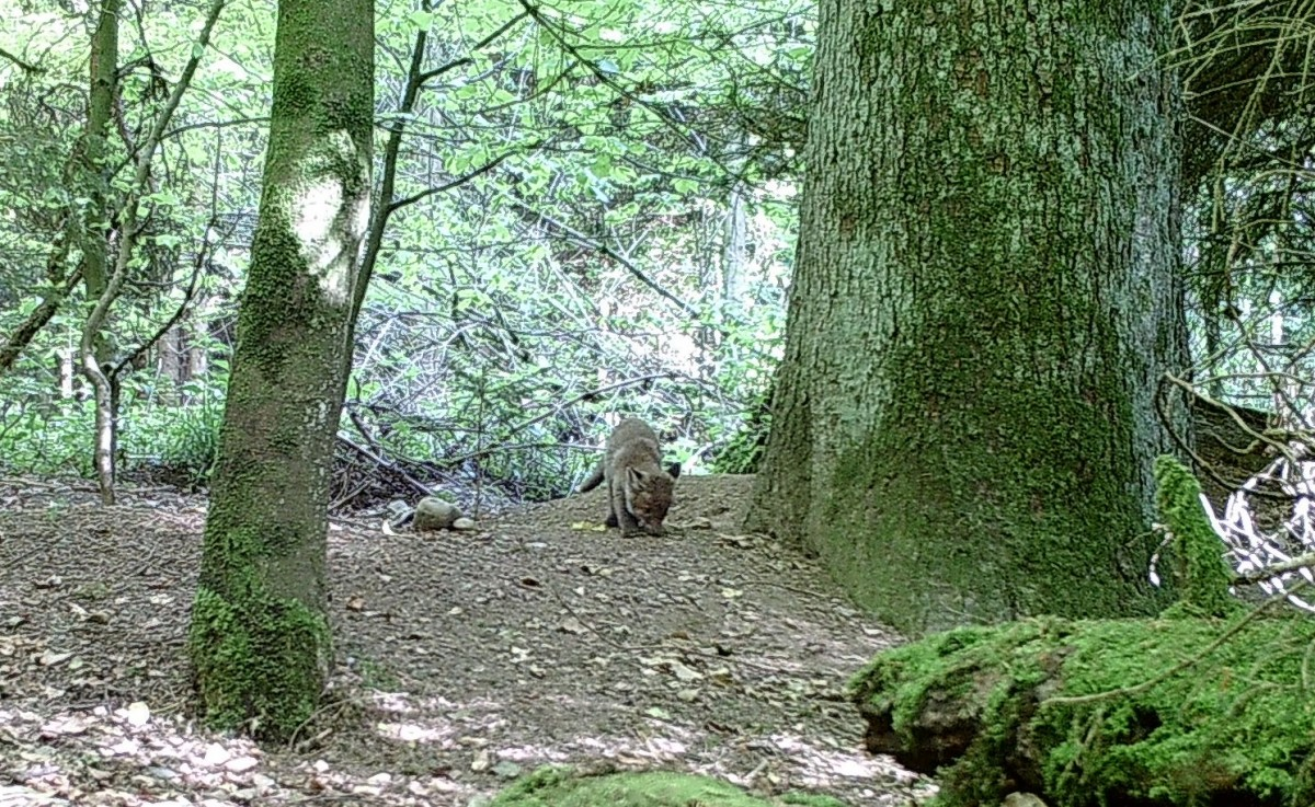 Ein Jungfuchs in der Nähe des Ritualplatzes