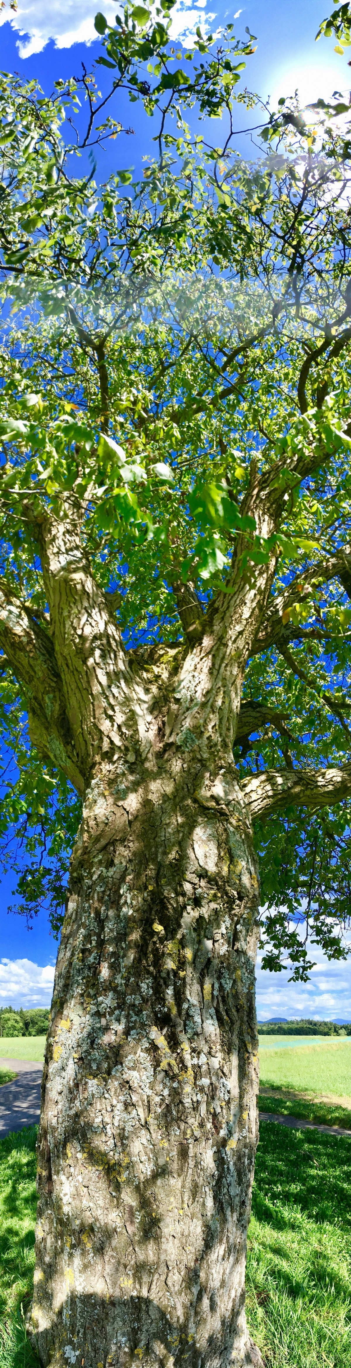 Der Nussbaum ist ein Schutzbaum und lehrt uns viel über das Reifenlassen von Plänen